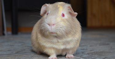 The-guinea-pig
